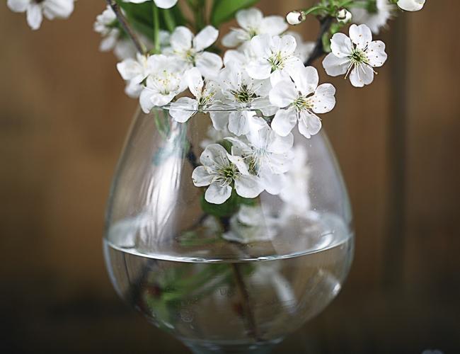 barborka, květy třešně